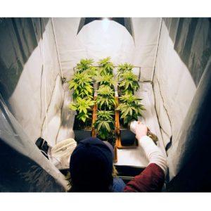 growing weed indoors