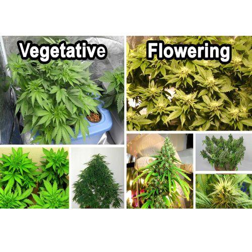 Growing Cannabis Indoors